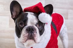 French bulldog posing in Christmas outfit Stock Photo
