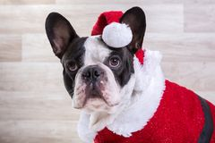 French bulldog posing in Christmas outfit Royalty Free Stock Photos