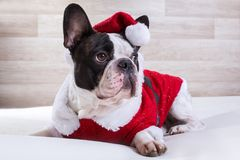 French bulldog posing in Christmas outfit Stock Images