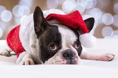 French bulldog posing in Christmas outfit Royalty Free Stock Image