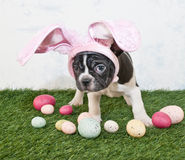 Easter Bunny Puppy Royalty Free Stock Image