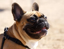 French bulldog profile. A French bulldog in profile looking up while at the park royalty free stock photos