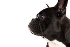 French bulldog in profile Stock Photos