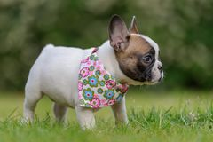 French bulldog. Profile of small puppy. Royalty Free Stock Photos