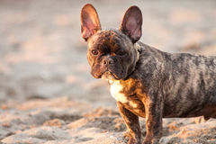 French Bulldog Pup. A french bulldog puppy enjoys the last bits of sunlight on the beach Royalty Free Stock Photos