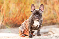 French Bulldog Pup. This french bulldog puppy enjoys the last bits of sunlight while it poses on a log at the beach Royalty Free Stock Image