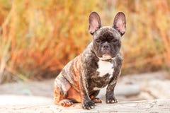 French Bulldog Pup Royalty Free Stock Image