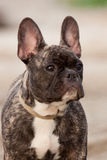 French Bulldog Pup. This french bulldog puppy gives a great profile at the beach Stock Photography
