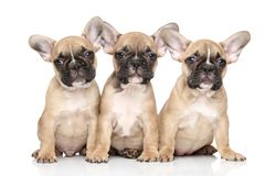 French bulldog puppies. Posing on white background stock photo