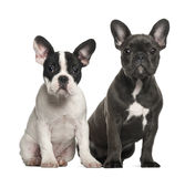 French bulldog puppies, 4 months old, sitting Stock Photo