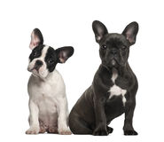 French bulldog puppies, 4 months old, sitting Stock Photography