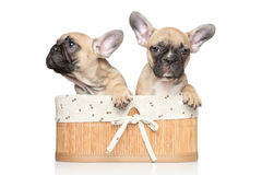 French bulldog puppies in basket Stock Photos