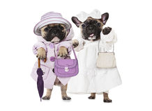 French bulldog puppies dressed as a dolls with hand bags Royalty Free Stock Image