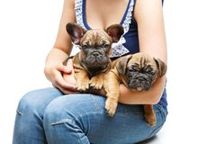 French bulldog puppies on girl knees Stock Photos