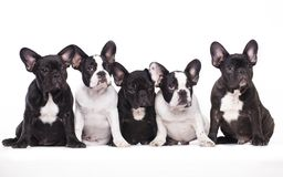French bulldog puppies litter. In wihite background stock photos