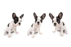 French bulldog puppies. Over white background Royalty Free Stock Photos