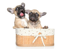 French bulldog puppies Royalty Free Stock Photo