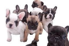 French bulldog puppies Stock Images
