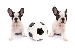 French bulldog puppies with soccer ball Stock Image