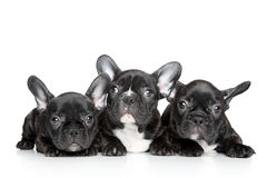 French bulldog puppies on a white background Stock Photos