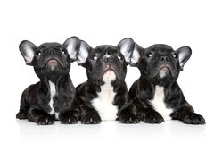 French bulldog puppies on a white background Stock Images