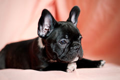French bulldog puppy. In a studio with a pink background Royalty Free Stock Photography