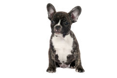 French Bulldog puppy. Royalty Free Stock Photography