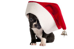 French Bulldog puppy. Royalty Free Stock Images