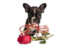 French Bulldog Puppy. Stock Photos