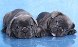 French bulldog puppy Stock Image