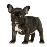 French Bulldog puppy Stock Photography