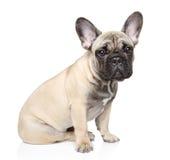 French bulldog puppy Royalty Free Stock Photo