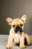 French Bulldog Puppy Royalty Free Stock Photo