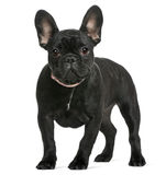 French bulldog puppy, 4 months old Royalty Free Stock Photography