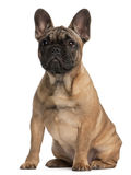 French bulldog puppy, 4 months old, sitting Stock Photos