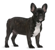French Bulldog puppy, 4 months old, standing Stock Photo