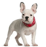 French bulldog puppy, 4 months old, standing Stock Image