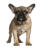 French bulldog puppy, 4 months old, standing Royalty Free Stock Photography