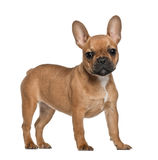French Bulldog puppy, 5 months old, standing Royalty Free Stock Photography