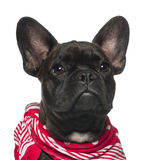 French Bulldog puppy, 6 months old Stock Photo