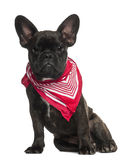 French Bulldog puppy, 6 months old, sitting Royalty Free Stock Photos