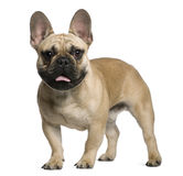 French Bulldog puppy, 7 months old, standing Stock Photography