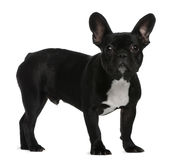 French Bulldog puppy, 7 months old, standing Royalty Free Stock Photos