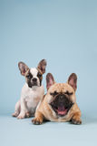 French bulldog puppy and adult dog Royalty Free Stock Photos
