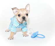 French Bulldog Puppy Wearing Pajamas Stock Photo