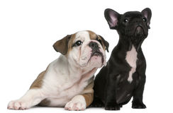 French Bulldog Puppy And English Bulldog Puppy Royalty Free Stock Photography