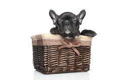 French bulldog puppy in basket Royalty Free Stock Image