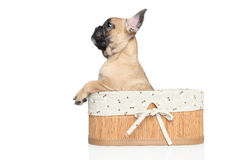 French bulldog puppy in basket Stock Image