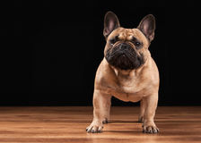 French bulldog puppy on black background with wooden texture Royalty Free Stock Photography
