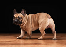 French bulldog puppy on black background with wooden texture Stock Photo